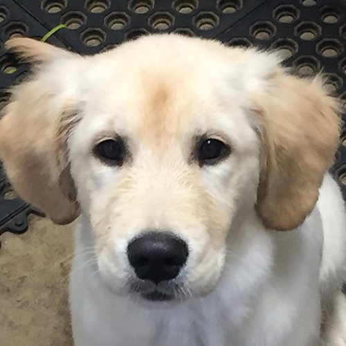 Happy Dog Golden Retriever puppy face