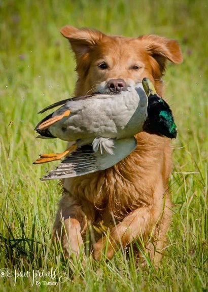 Golden Retriever running with duck in his mouth thru the grass
