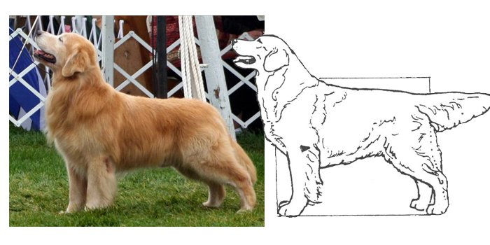 Judging the Golden Retriever