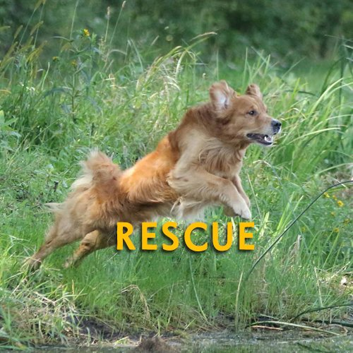 Northern Flyway Golden Retriever Club Home Page Rescue Button