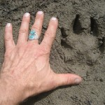 wolf print in the slough