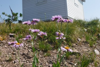 Summer Asters blooming behind the Coal Ridge Cabin