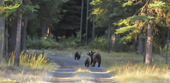 Momma grizzly and her cubs