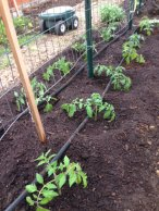 Newly planted tomatoes in greenhouse