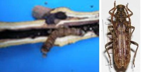 Kumbang Penggerek Batang  ngasihcom