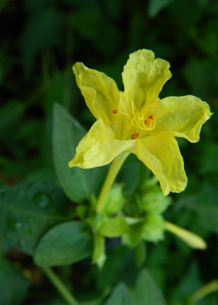 Gambar Bunga Pukul Empat Mirabilis Jalapa  ngasihcom