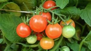 Tomato Talk Let's Grow This! National Garden Bureau