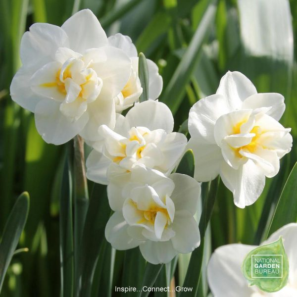 Daffodil Cheerfulness's double flowers are creamy white with yellow highlights and one of NGB top 10 Daffodils for your home and garden