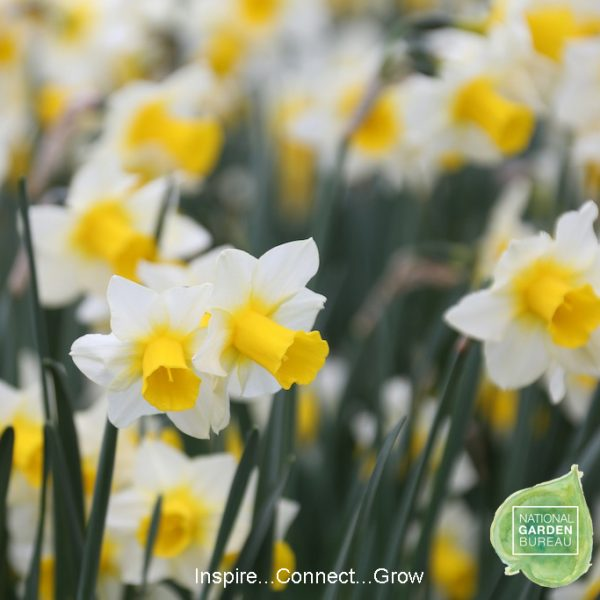 Daffodil Golden Echo - An outstanding daffodil in every way.