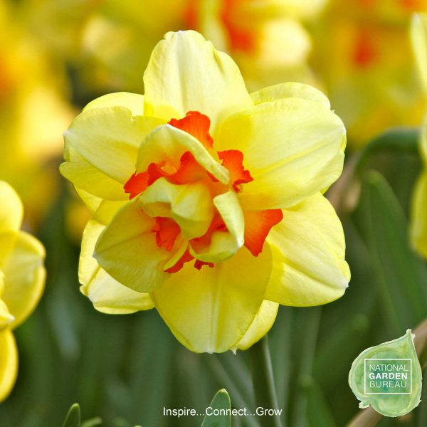 Daffodil Tahiti - One of the all-time greats of the daffodil world.