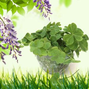 15 Best St. Patrick's Day Fragrance Oils 4-Leaf Clover