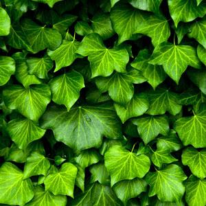 15 Best St. Patrick's Day Fragrance Oils English Ivy