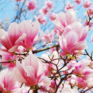 Magnolia in Bloom Fragrance Oil