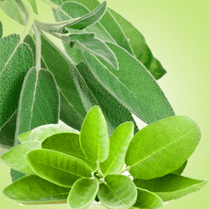 Sage Fragrance Oils: Sage Leaf Fragrance Oil