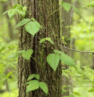 30 Poison Ivy Treatments