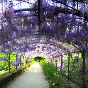 Wisteria BLVD Fragrance Oil