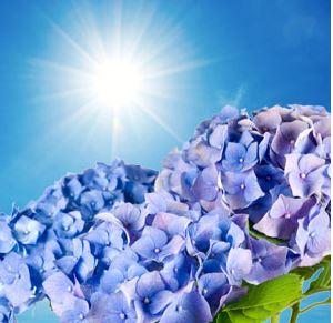 Best Floral Fragrance Oils NG Blue Hydrangea Type Fragrance Oil