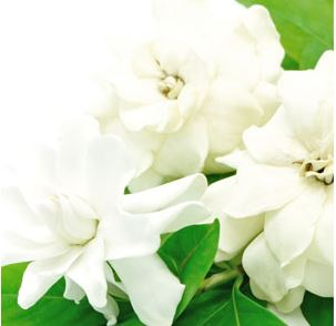 Best Floral Fragrance Oils White Gardenia Fragrance Oil