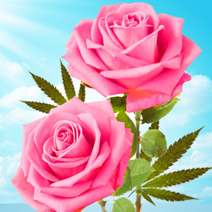Best Rose Fragrance Oils Cannabis Rose Type Fragrance Oil