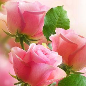 Best Rose Fragrance Oils Victorian Rose Fragrance Oil