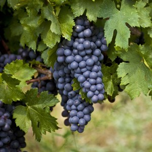 What is Resveratrol and What Does It Do?: Red Grape Skins