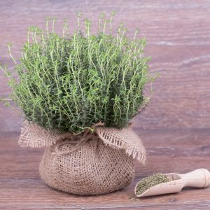 Thyme Uses: Growing Conditions