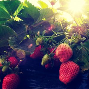 What are the Benefits of Strawberry Leaves?: Growing Conditions
