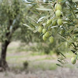 Olive Leaf Powder Benefits: Growing Conditions