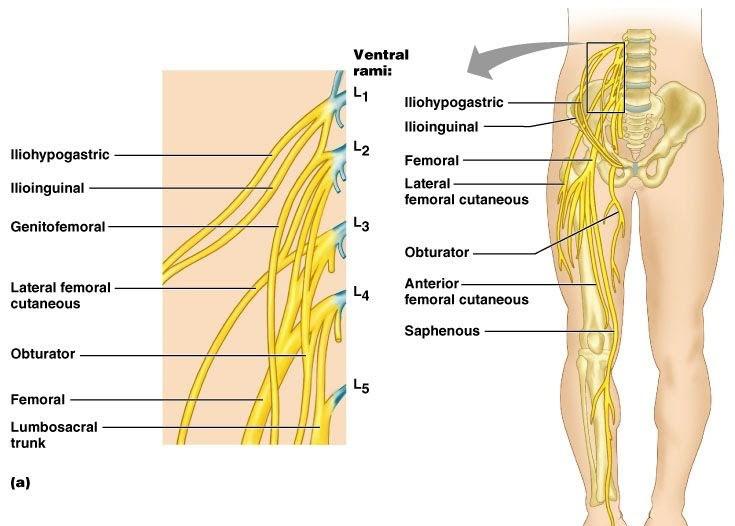 lower leg nerve diagram neco garage door wiring scenario back pain with thigh numbness next generation combat medic extremity nerves