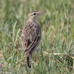 African Pipit (JB Burger)