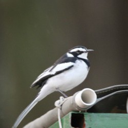 African Wagtail (JB Burger)