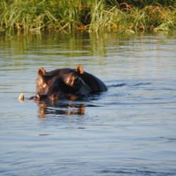 Hippo (Albie Geldenhuys)