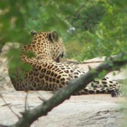 Leopard (Yvonne)