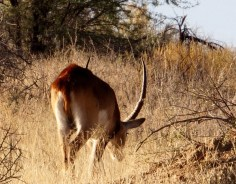 Monster Red Lechwe
