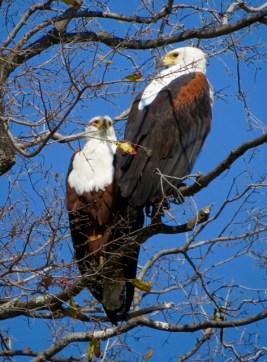 Fish eagles outside chalet #2