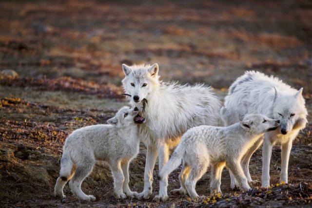 สุนัขป่าอาร์กติก