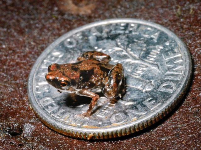 สัตว์มีกระดูกสันหลัง, กบที่เล็กที่สุดในโลก, กบ, ปาด, สัตว์สะเทินน้ำสะเทินบก