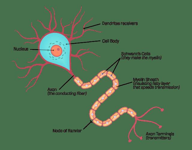 สมอง, ระบบประสาทส่วนกลาง, CNS, ระบบประสาท, เซลล์ประสาท
