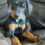 Adopt Duke - Doberman Puppy - New Hope Animal Rescue, Austin TX
