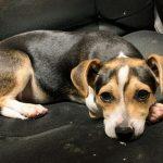 Adopt James - Terrier Beagle Mix - New Hope Animal Rescue, Austin TX