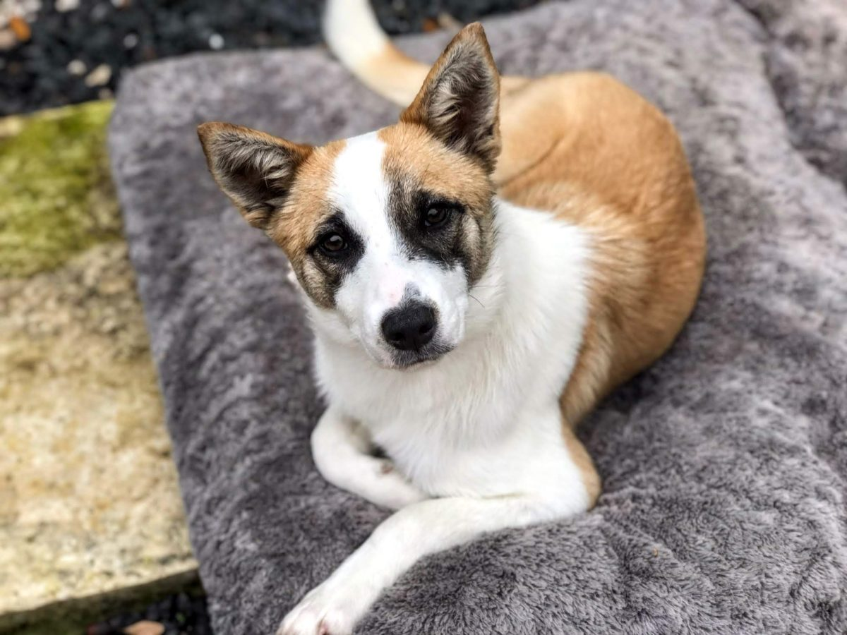 Elsa 6mo puppy, Aussie / Terrier mix