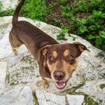 Rigsby - Male Breed: Ridgeback/Chocolate Lab mix 2yo 62lbs