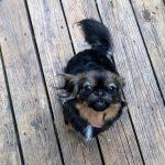 Adopt Sammy-pakinese mis