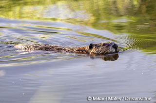 beaver-swimming[1]