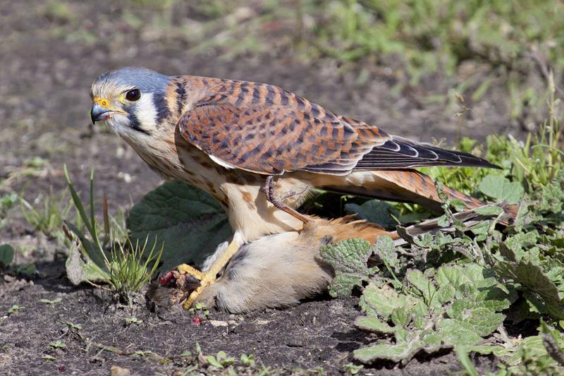 American Kestrel  Falco sparverius  NatureWorks