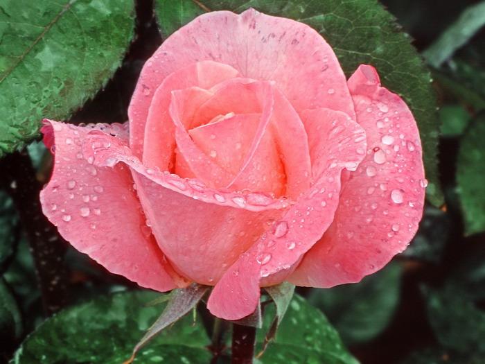 lovelyrose