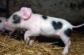 Chú lợn cũng có khoang lông hình trái tim