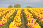 tulip uat kim huong (08)