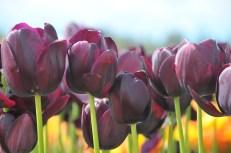 tulip uat kim huong (12)