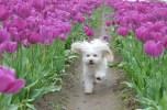 tulip uat kim huong (14)